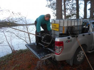Fiskodlaren Roland Olsson kom med 130 rödingar som släpptes ut i Ijungens vatten.