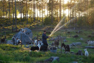 Sju mil luftledningar, bl a här längs Skidtjärn nedanför getgården, kommer nätverksföretaget Ellevio att gräva ned nästa år till en kostnad av totalt 20 miljoner kronor.